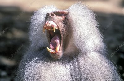 Growling Dominant male Hamadryas baboon