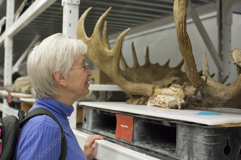 Museum visitor with moose antlers