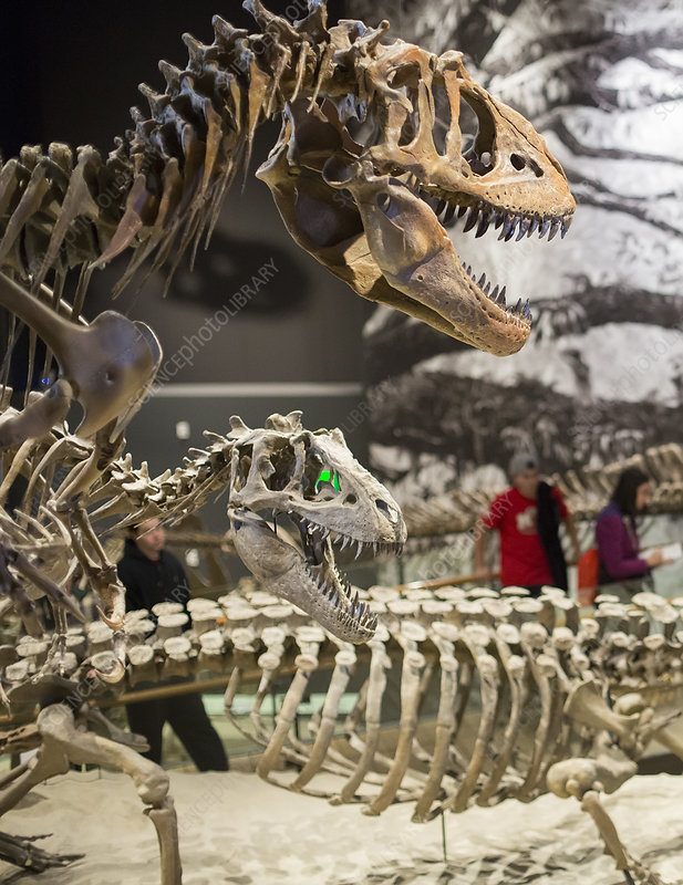 Theropod dinosaur fossils display