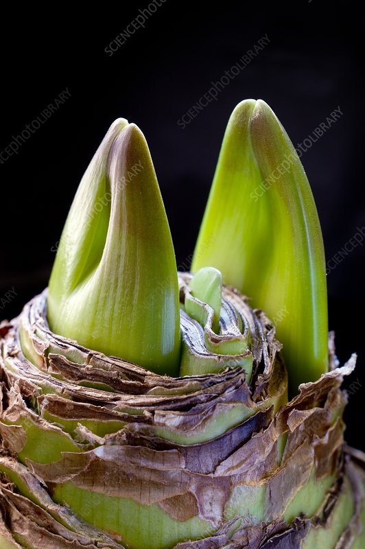 Hippeastrum bulb producing flower buds