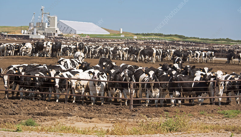 Intensive cattle farm