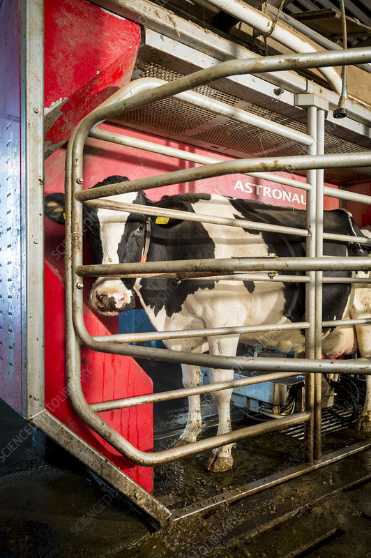 Cow in milking machine