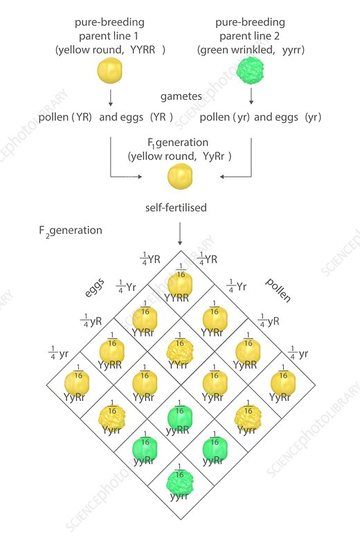Terrific Mendelian Genetics Punnett Square Stock Image C023 8582 Wiring Digital Resources Remcakbiperorg