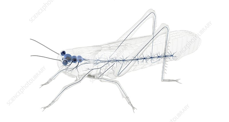 Grasshopper nervous system, illustration