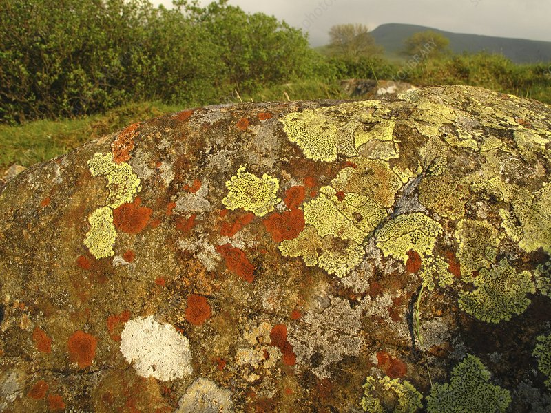 Lichen growing on rock in unpolluted air