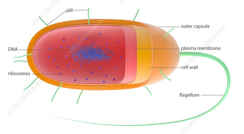 Bacterial cell, illustration