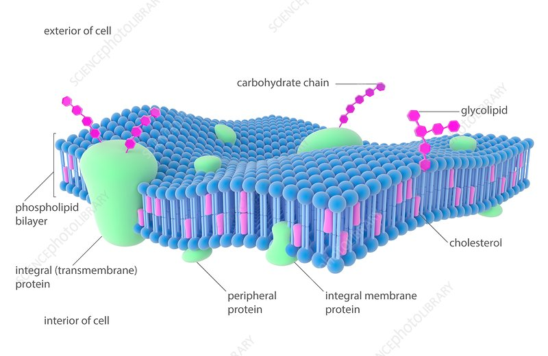 Plasma membrane, illustration