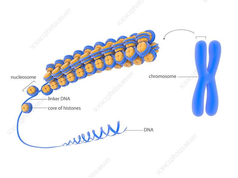 Cellular packaging of DNA, illustration