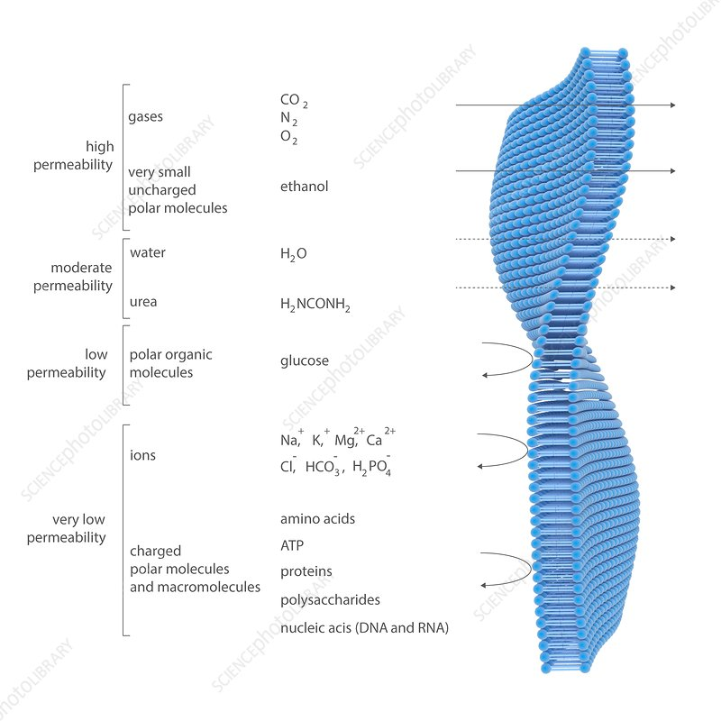 Membrane permeability, illustration