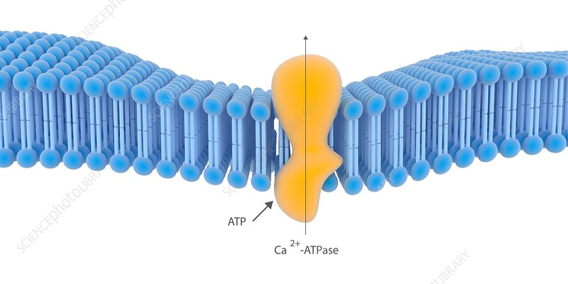 Active membrane transport, illustration
