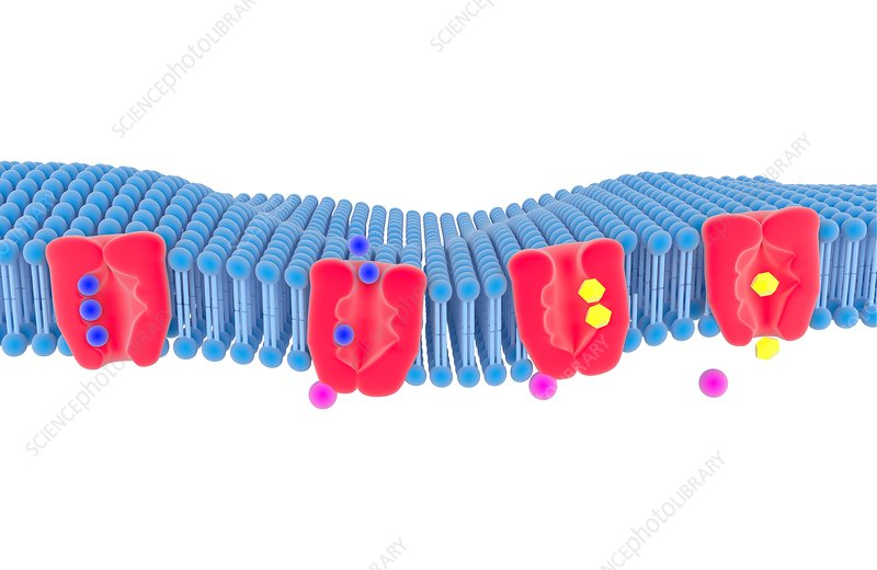 Na-K membrane ion pump, illustration