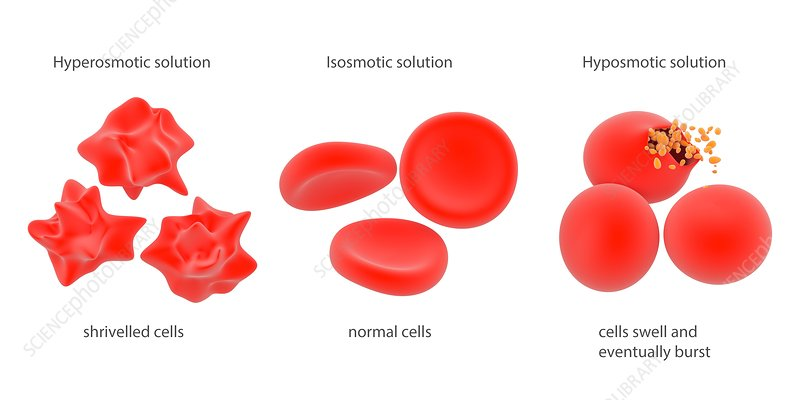 Osmosis in red blood cells, illustration
