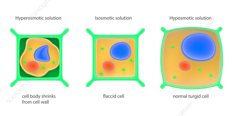 Osmosis in plant cells, illustration