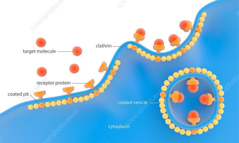 Receptor-based endocytosis, illustration