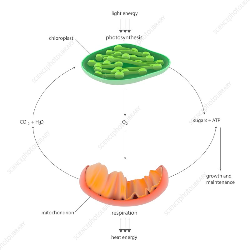 Photosynthesis And Respiration Diagram Stock Image C0238803