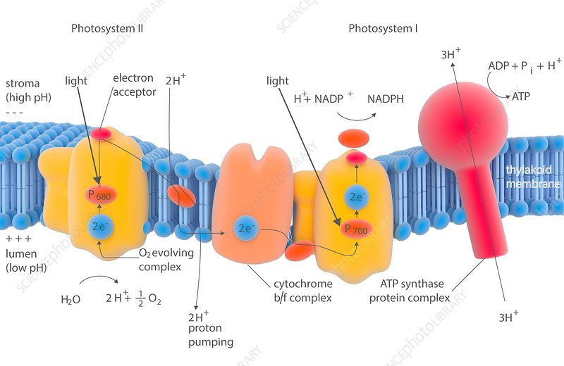 Photosynthesis photosystems, illustration