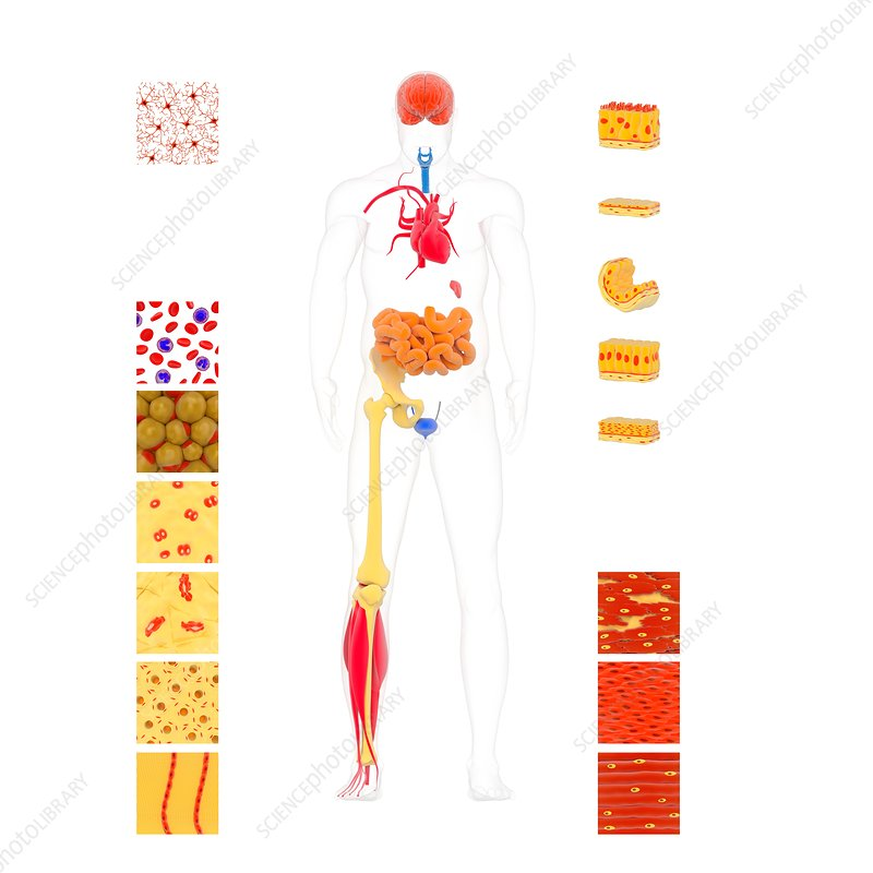 Human body tissue types, illustration