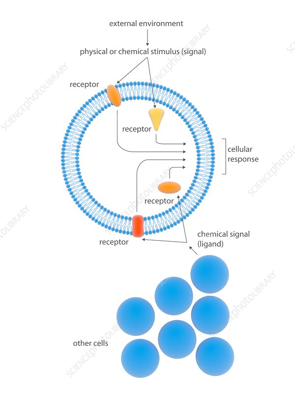 Cell response mechanisms, illustration