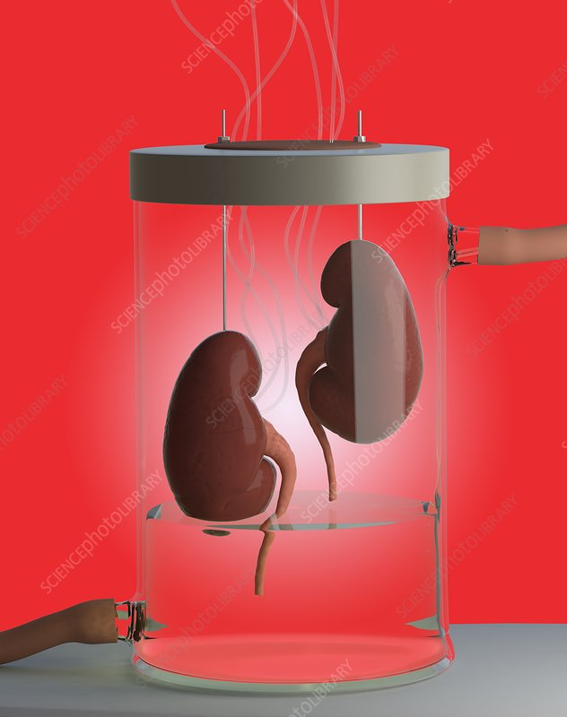 Spare kidneys, conceptual image