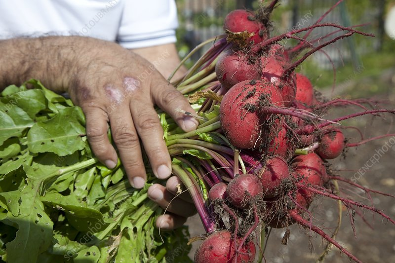 Radishes harvested from a garden