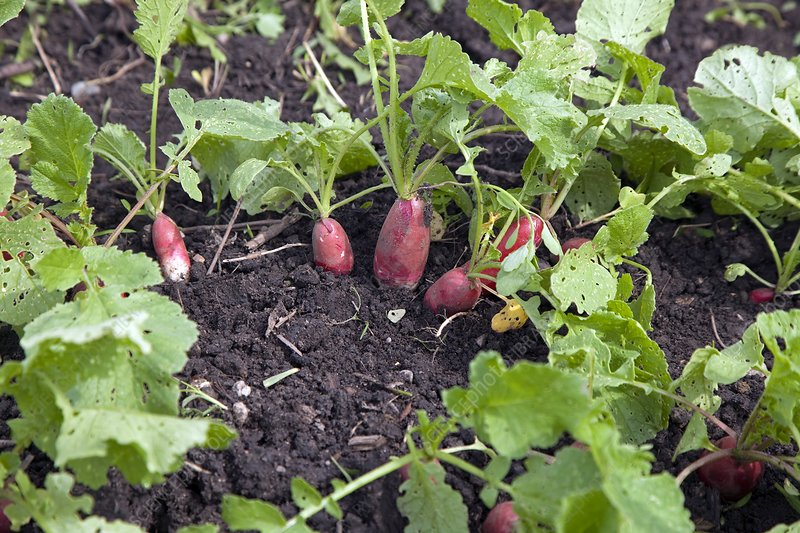 Radishes ready for harvesting