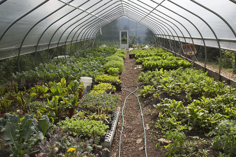 Vegetables in a polytunnel