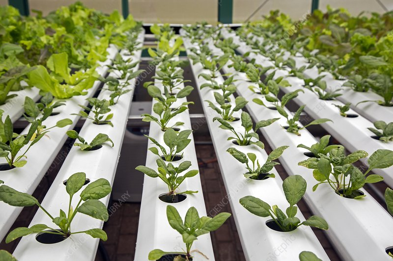 Hydroponic spinach at a hospital farm