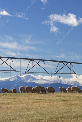 Sheep grazing under an irrigation boom