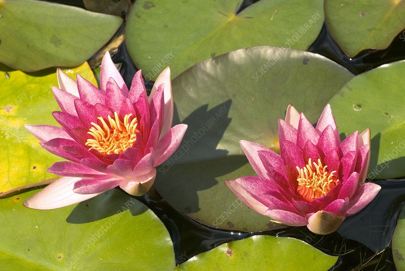 Nymphaea 'Weymouth Red'