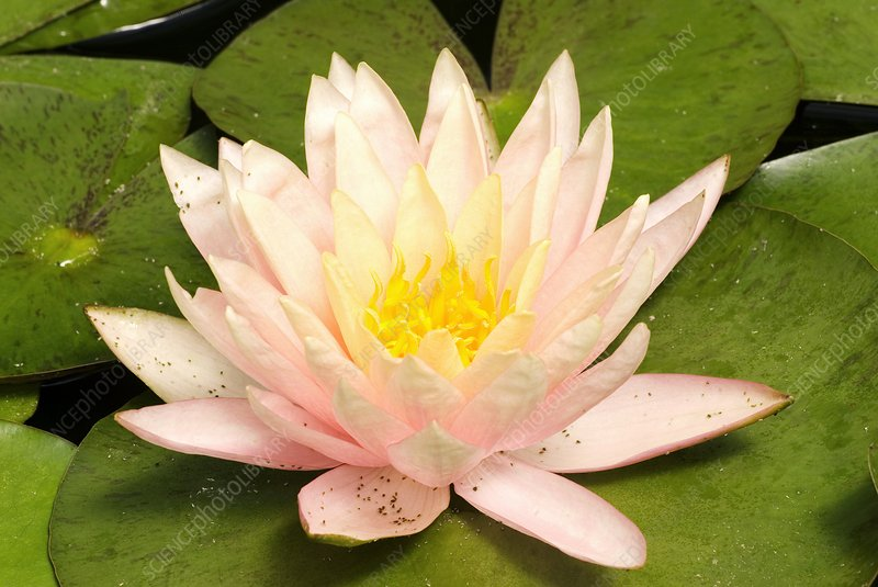 Nymphaea 'Cypriana'
