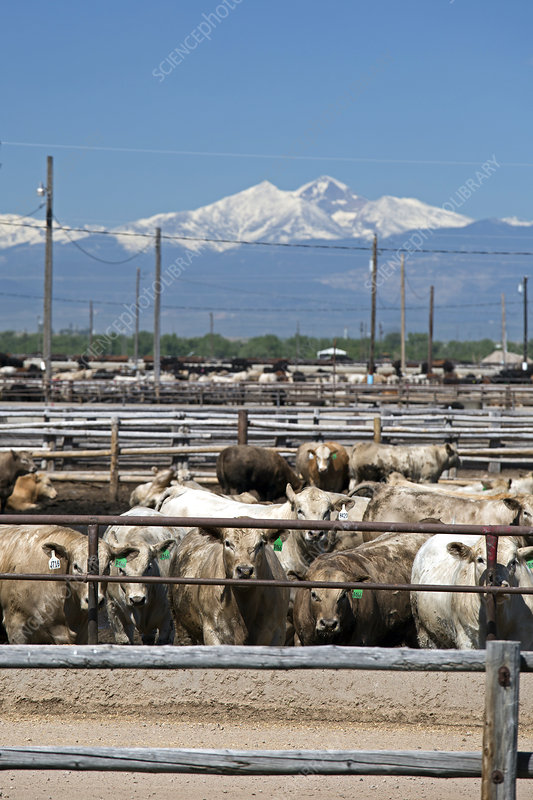 Feedlot cattle, USA