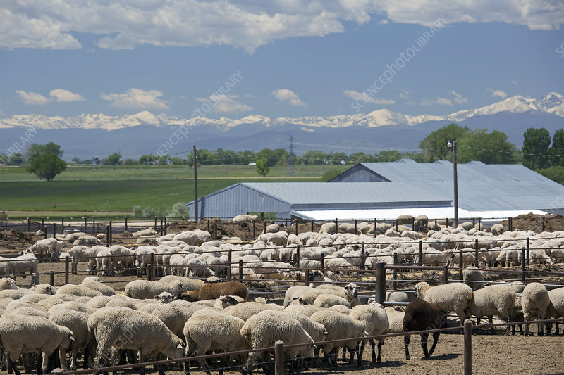 Feedlot sheep, USA