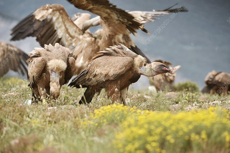 Griffon vultures scavenging