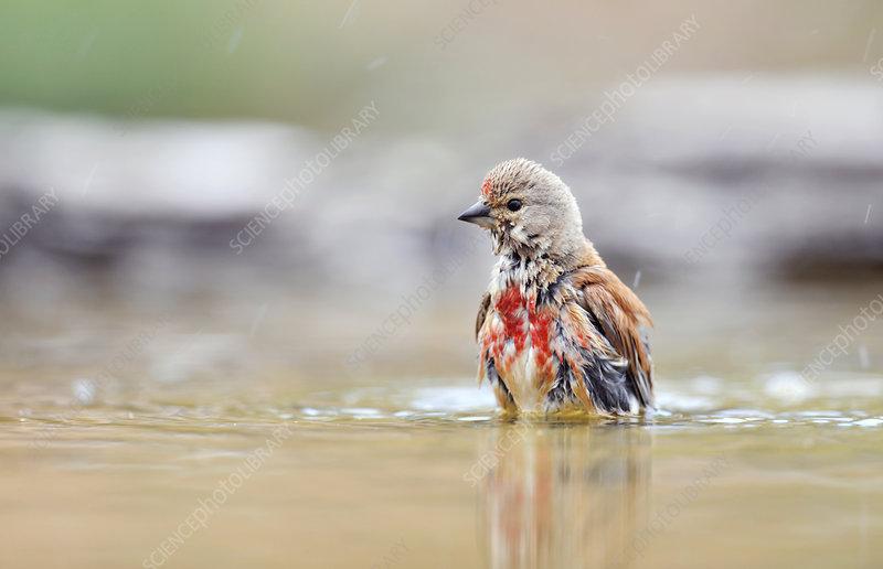 Linnet bathing