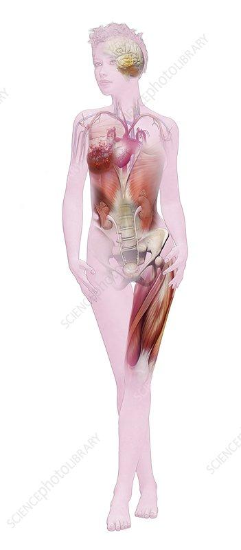 Human female anatomy, illustration