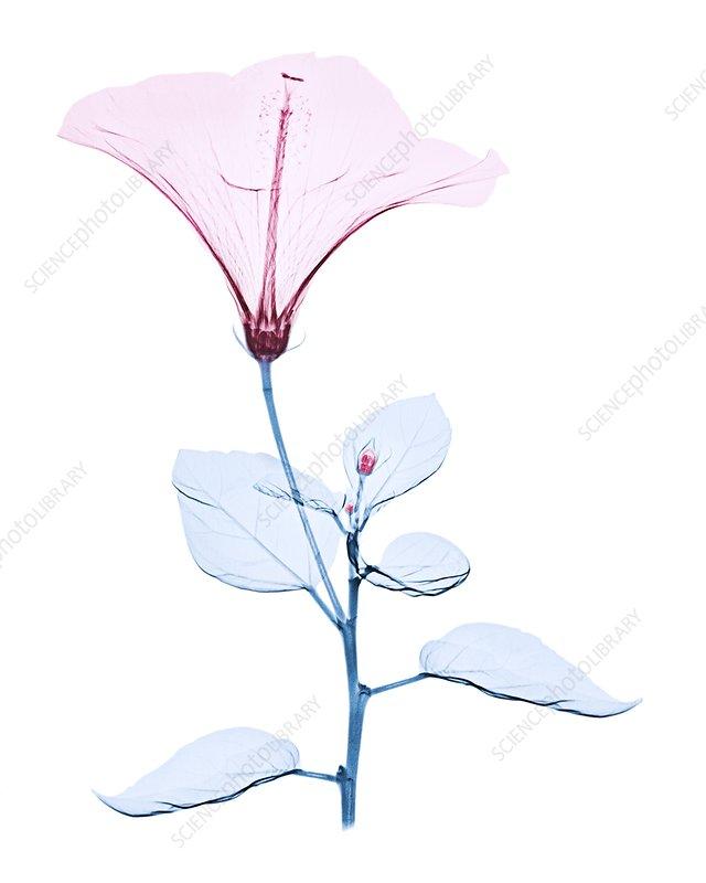 Chinese hibiscus flower, X-ray