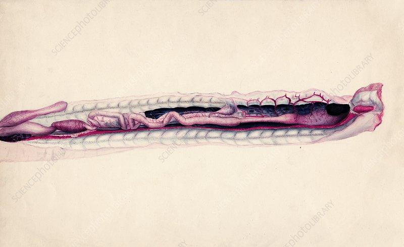 Rattlesnake entrails, historical artwork