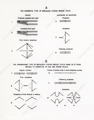 Chromosome breakage diagrams, 1950