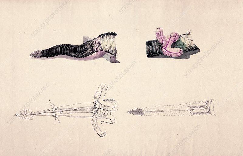 Rattlesnake tail, historical artwork