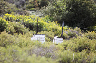 Beehives in fynbos, South Africa