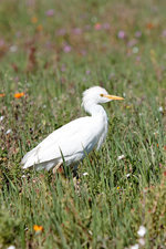 Cattle egret, South Africa