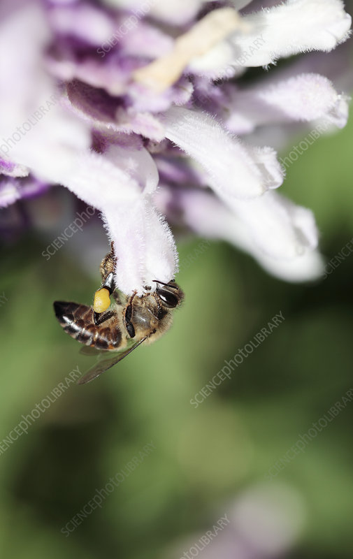 Cape honey bee on bush sage