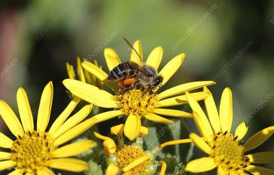 Cape honey bee on coastal ragwort