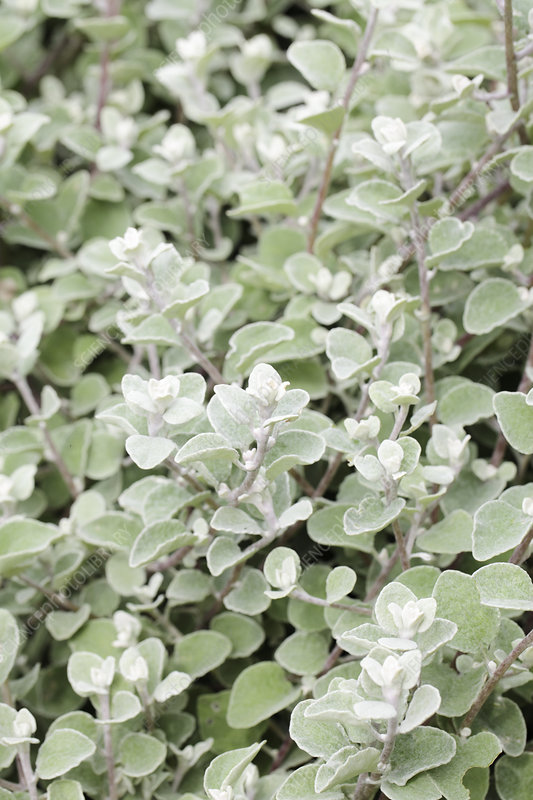 Liquorice plant (Helichrysum petiolare)