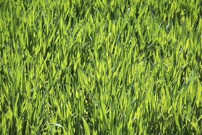 Cereal crop plants