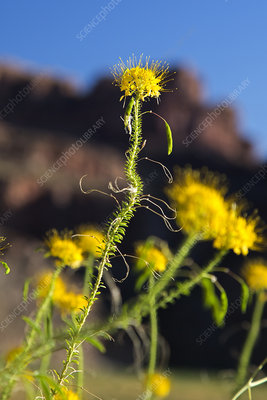 Yellow bee plant (Cleome Lutea)