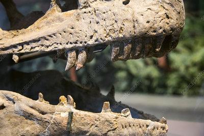 Dinosaur jaws exhibit