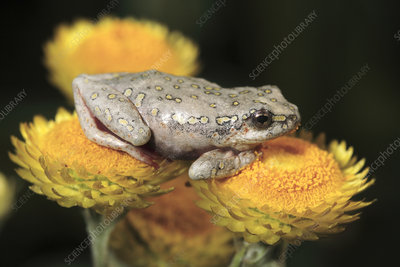 Marbled reed frog on everlasting flowers