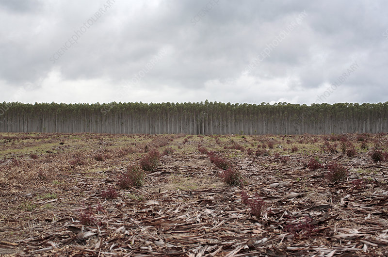 Eucalyptus plantation, South Africa
