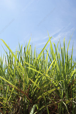 Sugarcane (Saccharum sp.) field